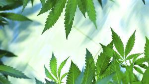 Losy ustawy wprowadzającej medyczną marihuanę stanęły pod znakiem zapytania