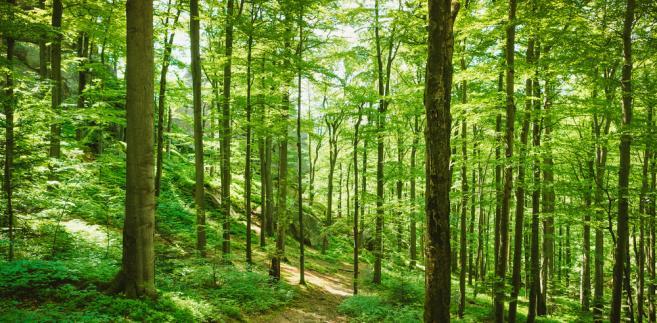 las, drzewa, natura