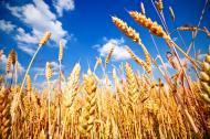 <strong>Ceny</strong> <strong>pszenicy</strong> spadają w ślad za wzrostem światowych rezerw