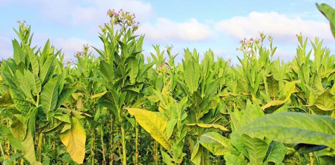 tytoń-rolnictwo